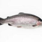 """La trota iridea bianca: un pesce """"mitologico"""" dalle qualità eccezionali!"""